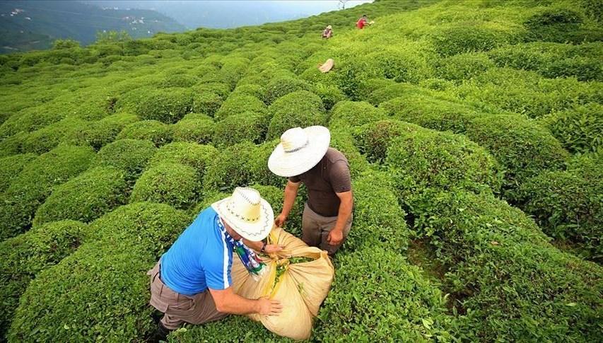Türkiye 8 ayda 10,77 milyon dolarlık çay ihraç etti