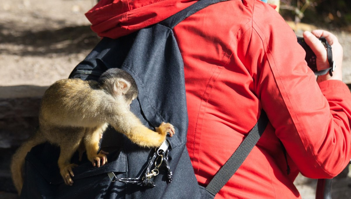 Maymunların kasıtlı olarak turistlerin değerli eşyalarını çaldığı ve karşılığında daha fazla yiyecek istediği ortaya çıktı