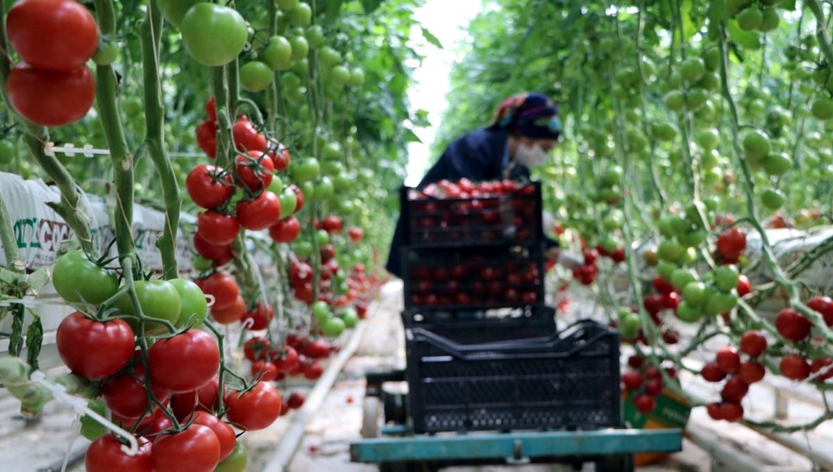 Hava sıcaklığının eksi 40'a kadar düştüğü Çaldıran'da, serada domates üretimi