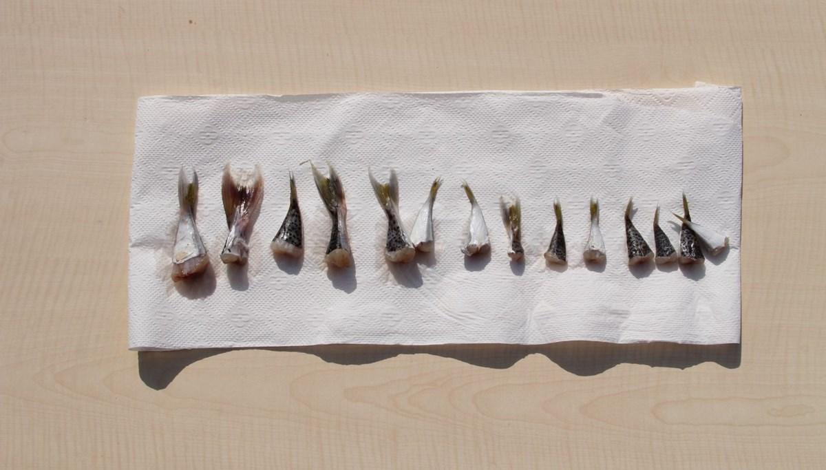 Balon balığı, balıkçılara binlerce lira kazandırdı