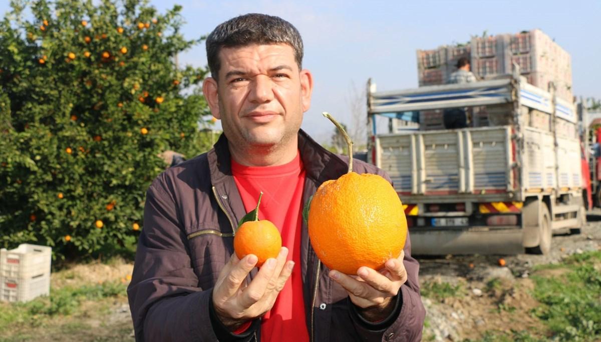 Adana'da 1 kg 260 gramlık portakal görenleri şaşırttı
