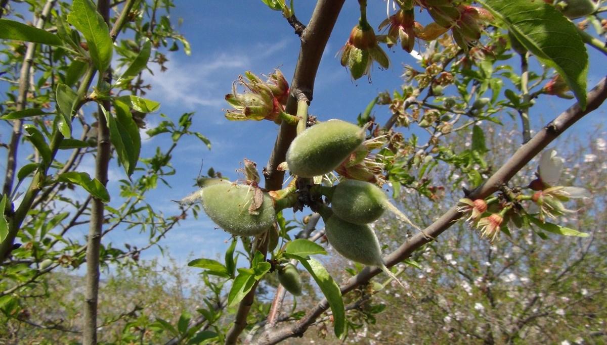 Baharın ilk meyvesi tarlada 100 lira (Sezonun ilk çağla hasadı Mersin'de yapıldı)