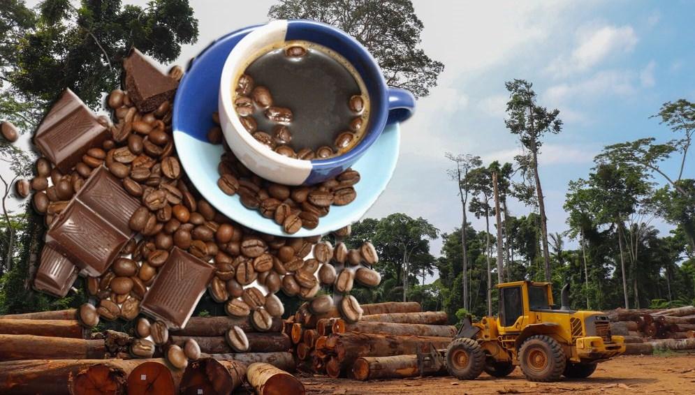 Kahve ve çikolata tüketen herkes yılda 4 ağacın yok olmasından sorumlu